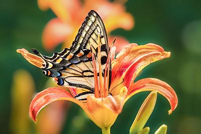 Nature's Flying Art ~ Butterflies & Moths