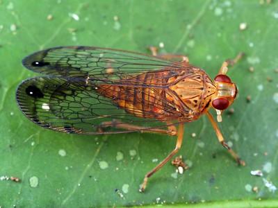 Lophopidae