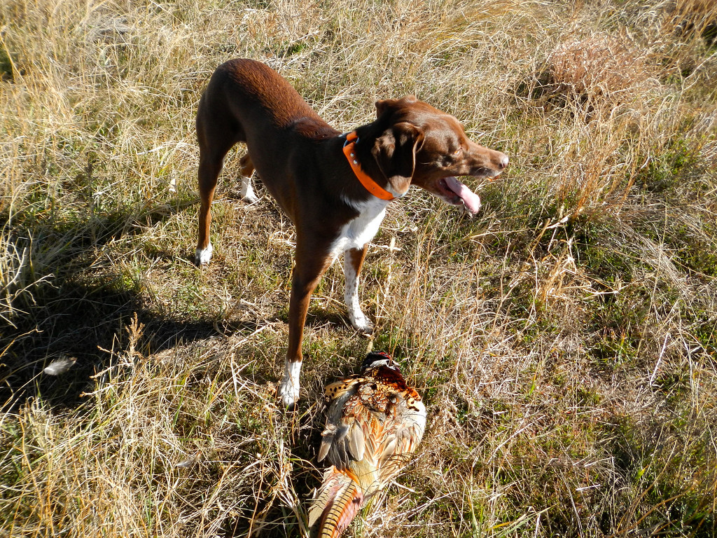 . Bailey pants with pride after running down a ringneck and dropping it at her master\'s feet on opening day of pheasant season, Saturday, November 9, 2013.