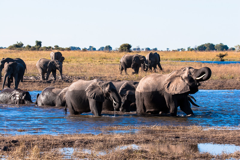 The matriarch leading the herd across the river