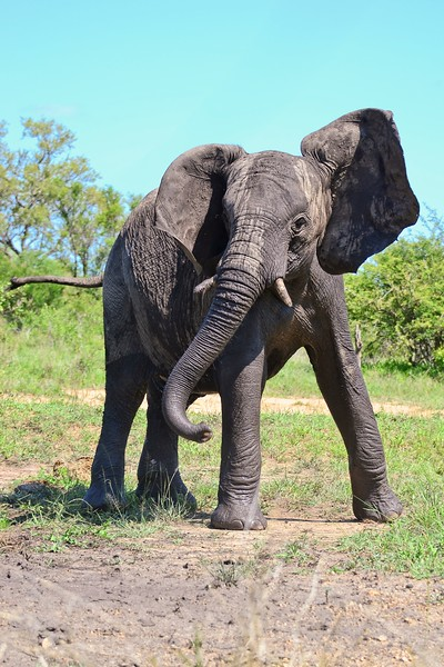 Elephant Youngster Head Shake.jpg