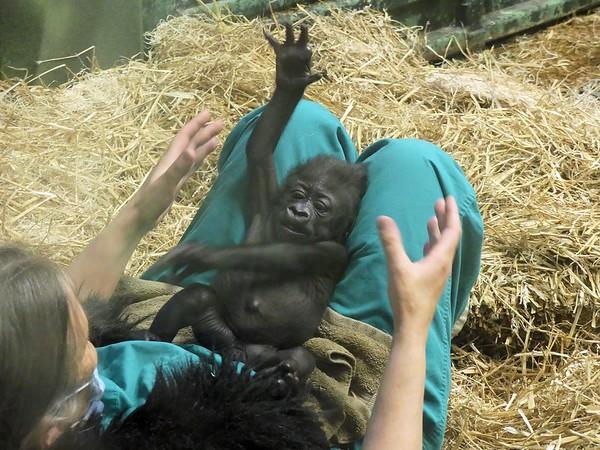 Zoo - Kindi the Gorilla May 2016