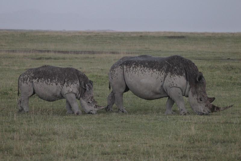 White Rhinos in the rain