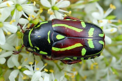 Scarabaeidae - Scarab Beetles