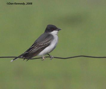 Tyrant Flycatchers including Kingbirds
