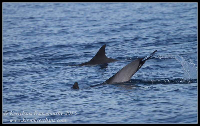 Common Dolphin tail fluke, it is difficult to capture these from the rock boating, very fast for the camera, got lucky, Whale Watching trip, San Diego County, California, January 2015