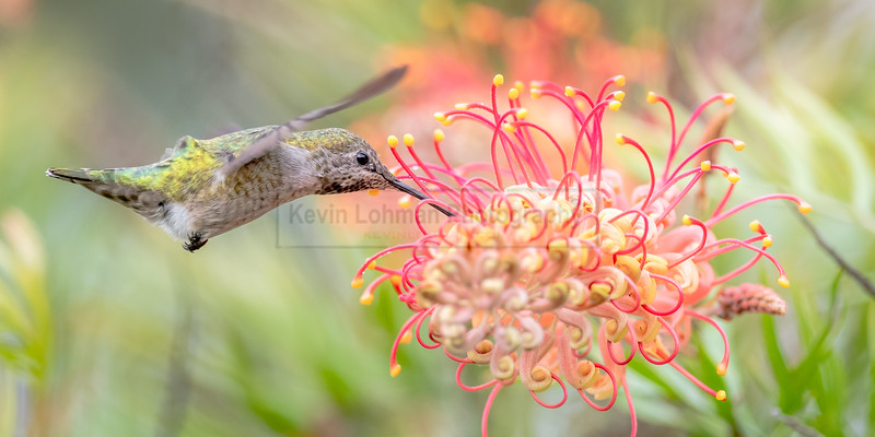 Anna's Hummingbird - Green and Pink