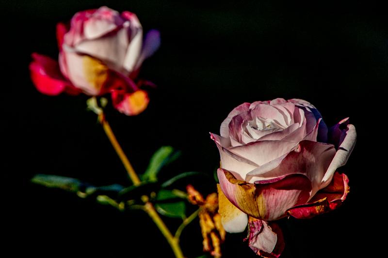 December 15 - Roses in withering bloom.jpg