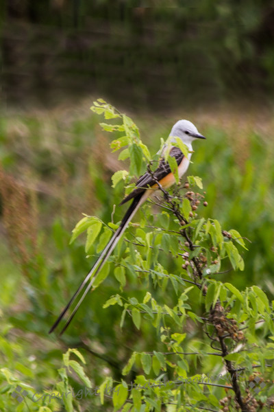 Scissor-tailed Flycatcher ~ This beautiful bird was photographed in Texas on the last day of my birding trip there.  I had seen many Scissortails in the previous few days, but this one had the longest tail I had ever seen.