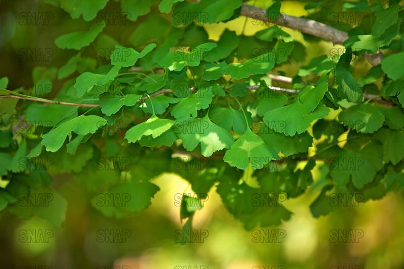 Maidenhair Tree, Pinyin, Hanyu Pinyin, Gingko, or Ginkgo Tree (Ginkgo biloba); native to southeast China, at the Jacksonville Zoo and Gardens.