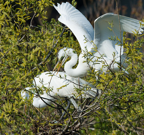 Great Egret Rookery