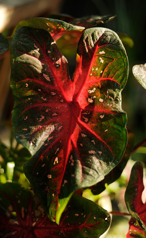 . Caladium are among the many plants with which the Peters-Combs surround their ponds. (Cyrus McCrimmon, The Denver Post)
