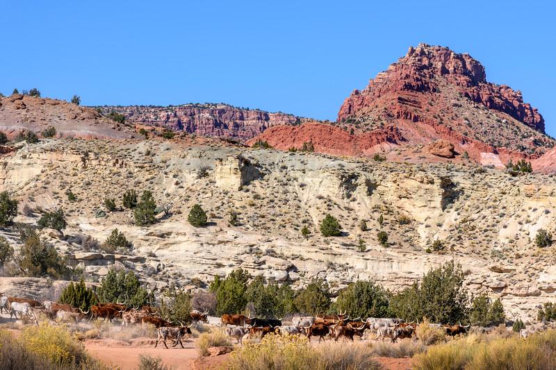 Paria Cattle Drive