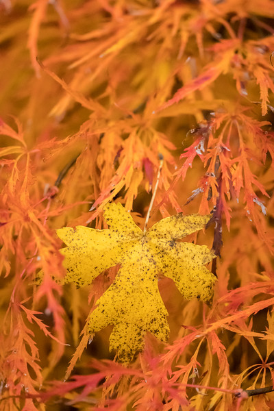 Oak leaf in Japaneese Maple leaves L -9276.jpg