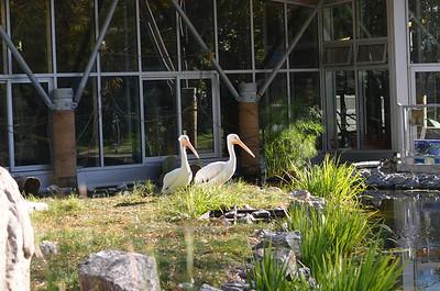 Edmonton Valley Zoo - Pelican