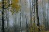Foggy Fall Aspen Grove