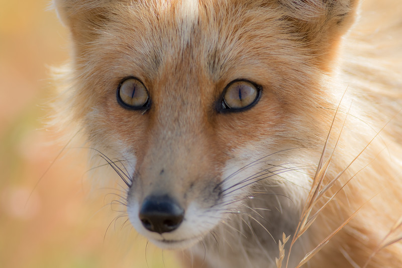 foxcloseup.jpg