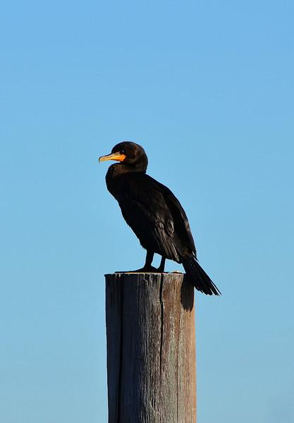 Cormorant 3.jpg