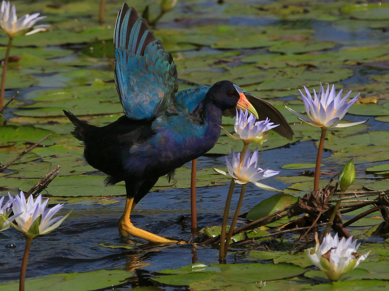 zAnahuac 8-21-14, Old T3i, 101A, Purple Gallinule adult, wing up (1 of 1).jpg