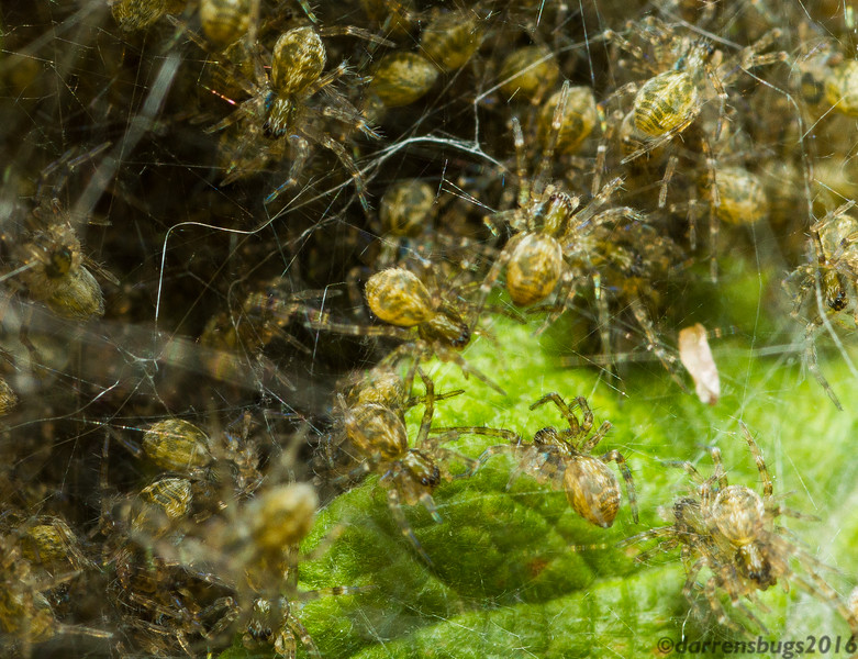 Freshly-hatched spiderlings, possibly Dolomedes, by the shoreline of Little Bass Lake in Wisconsin.