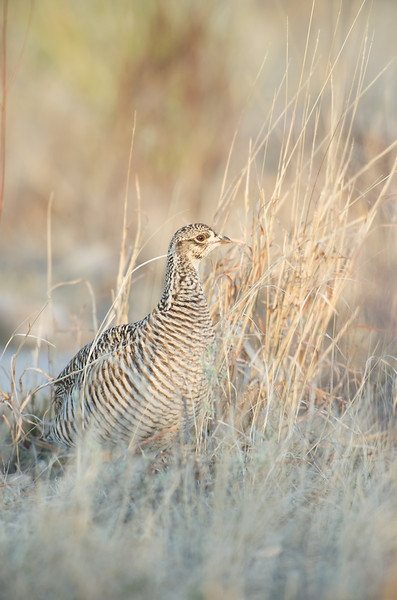 Lesser Prairie Chicken #8