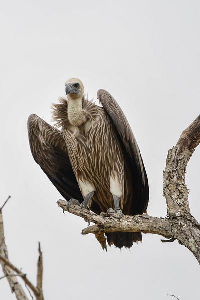 Griffon Vulture Mid-shot
