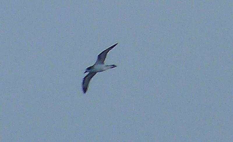 HPSeabirds006 Nov. 5, 2010   5:31 p.m.  P1000006 Barau's Petrel, Pterodroma baraui 40 mi. SE-Riviere, St. Etienne,St.Louis