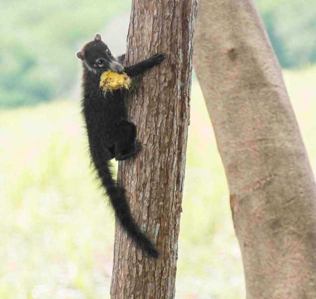 Costa Rica_Animals_Coati-8.jpg