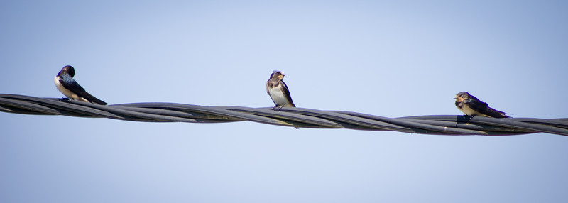A few of the many swallows taking a reast