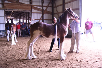 Clydesdale Filly Foals