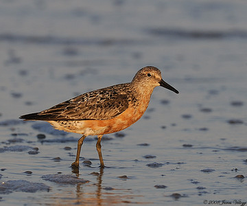 Red Knot, Calidris canutus
