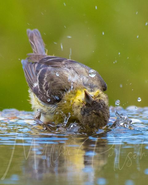Yellow Bird Bath