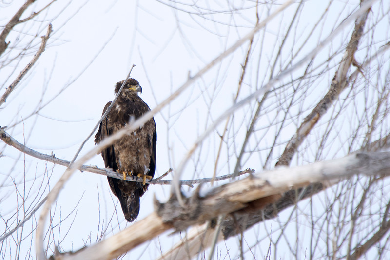 Young Bald Eagle in Utah