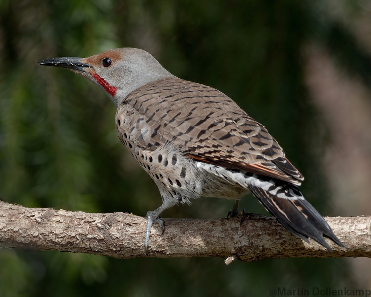 Flickers are comfortable on ground, branches and sides of trees.