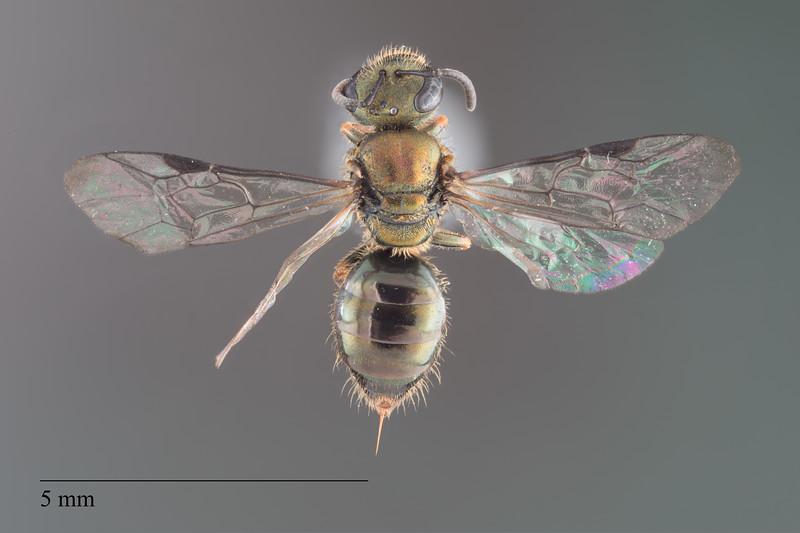Homalictus kaicolo female