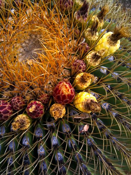 Cactus Ferocactus diguetii  ProHDR _3363.jpg