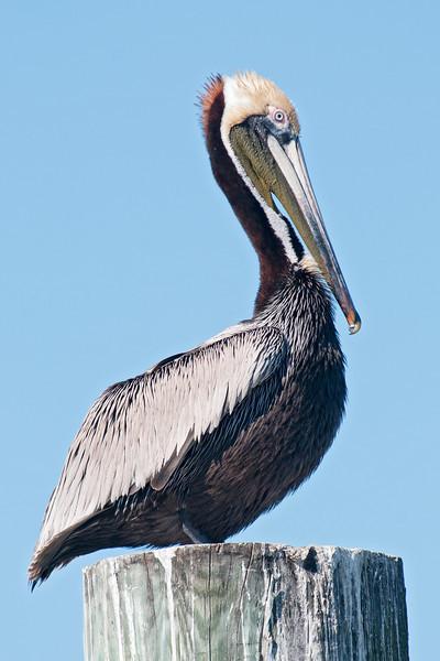 Pelican - Brown - breeding plumage - Ocracoke Island, NC - 08