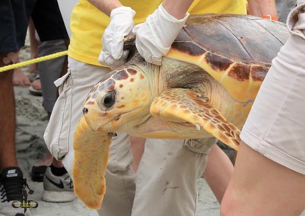 Loggerhead Sea Turtles Release May 10 2016