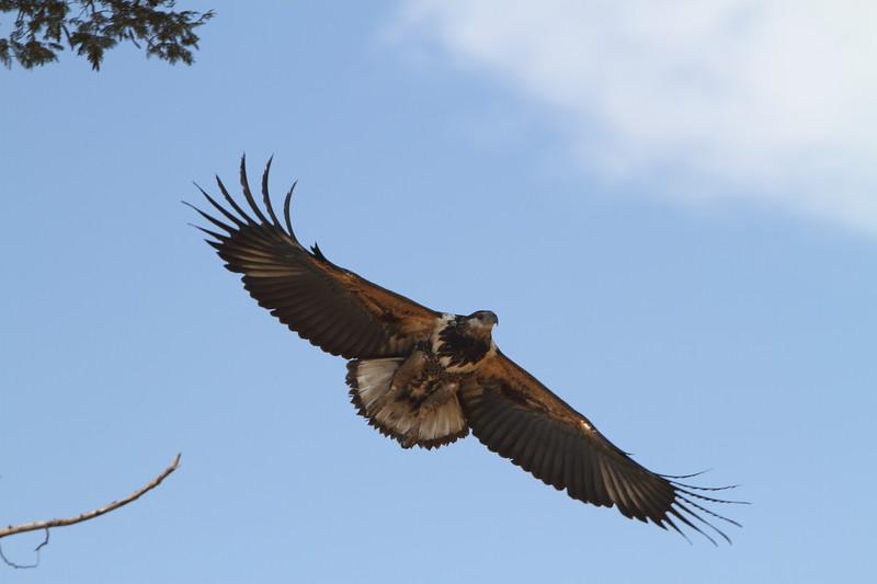 Tawney Eagle in Flight.JPG