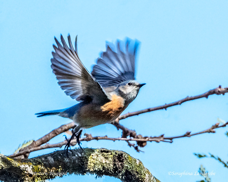 _DSC1062Western Bluebird flight.jpg