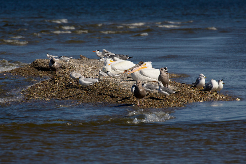 The spit on the north side of the Dike becomes a rookery.