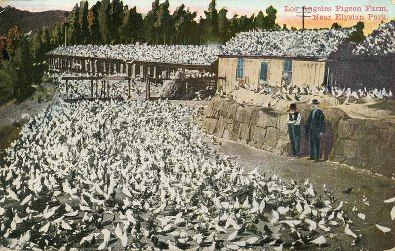 Los_Angeles_Pigeon_Farm_near_Elysian_Park_mailed_1913.jpg