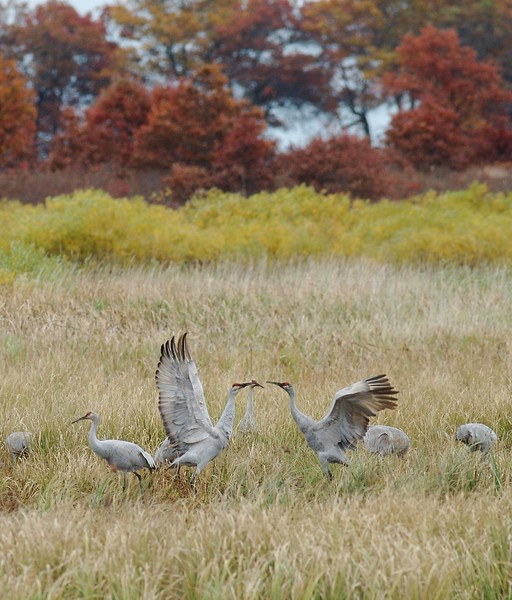 Sandhill Cranes staging at Crex Meadows  [October 2008, near Grantsburg, Wisconsin]
