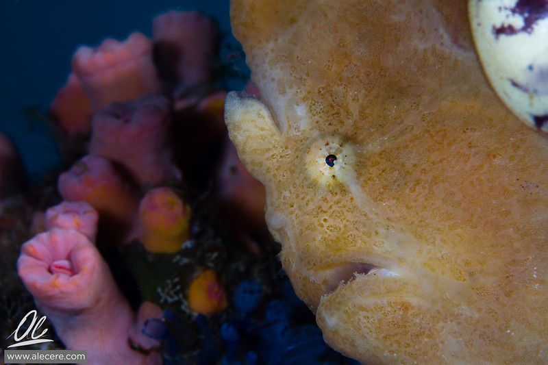 Photo bombing - Frogfish style