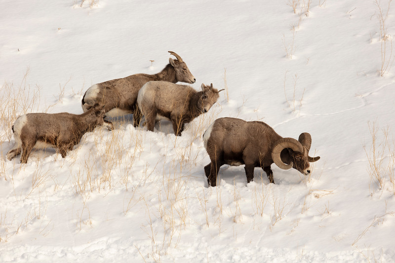 387A9297 Rocky Mtn Bighorn Sheep.jpg