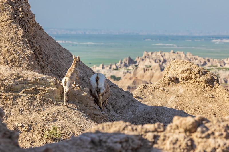 lamb following mama into the rocks-3044.jpg