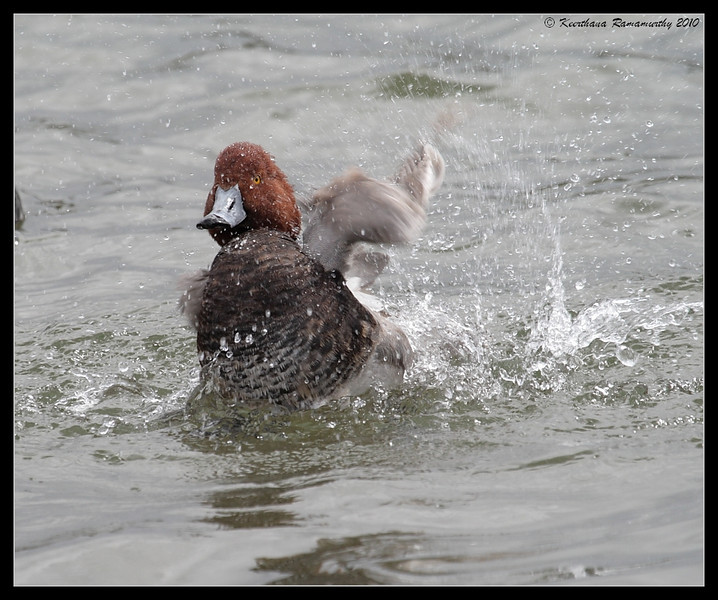 Redhead Drake, Lake Murray, San Diego County, California, March 2010