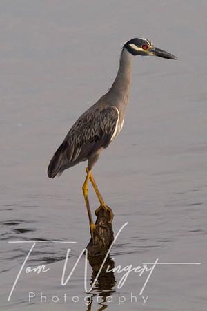 Heron @ Susquehanna River