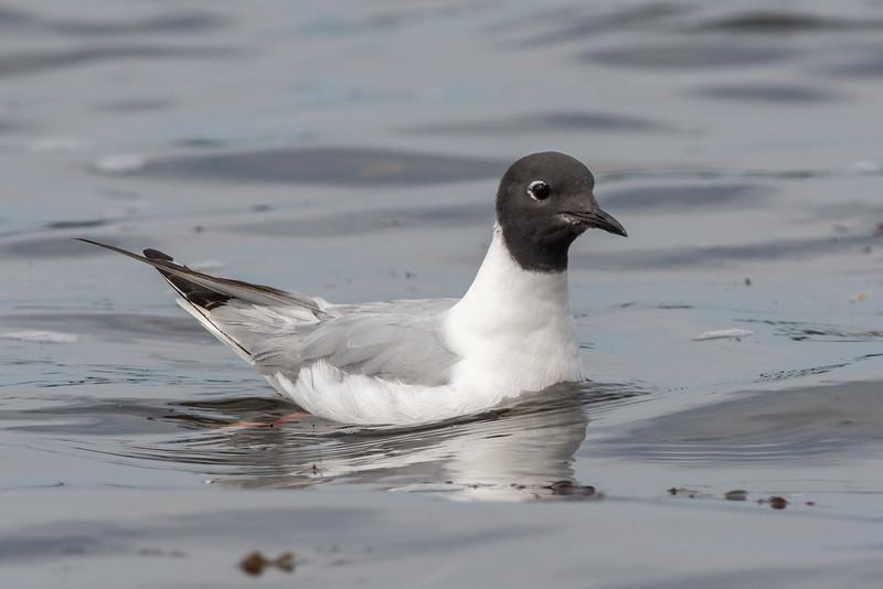 Bonaparte Gull