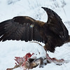 Viewer discretion advised - Eagle coming in for a landing on a carcass.